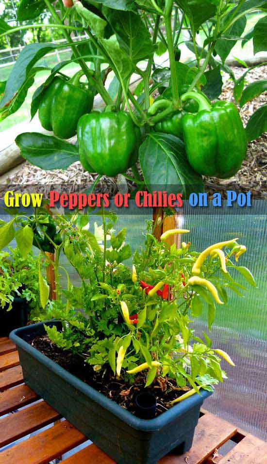 01-how-to-grow-bell-pepper-or-chili-in-pots