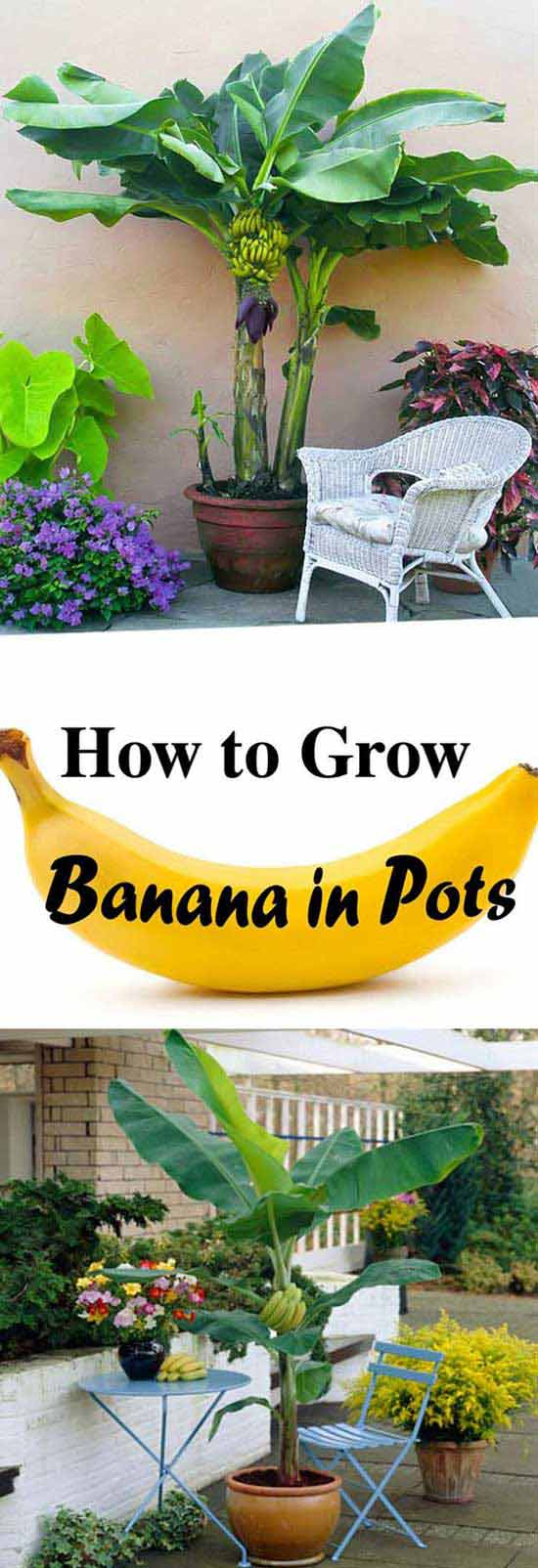 02-growing-banana-in-pots