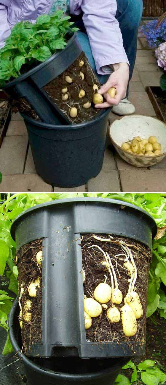 03-Make-a-potato-pot-by-cutting-out-the-sides-of-a-plant-pot-1