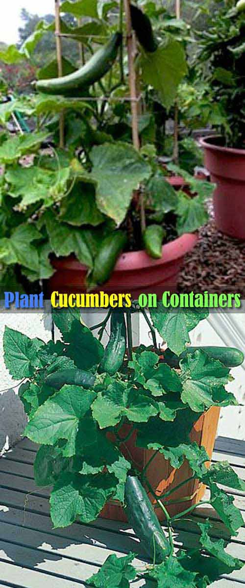 04-cucumber-on-trellis-in-pot_mini