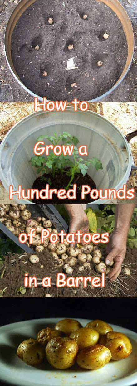 08-Grow-Hundred-Pounds-of-Potatoes-in-a-Barrel