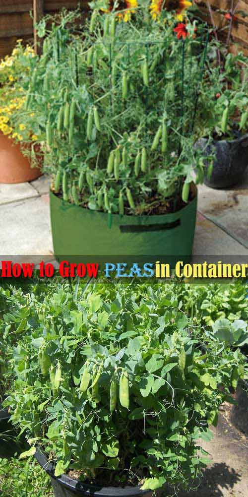10-how-to-grow-peas-in-containers