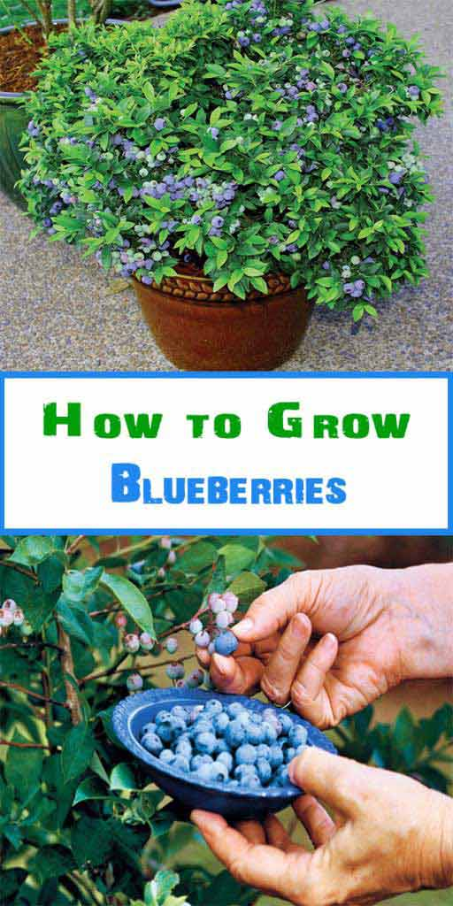 11-How-to-Grow-Blueberries-in-a-pot