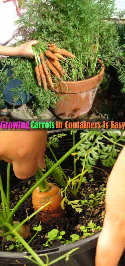 12-growing-carrots-in-a-flower-pot