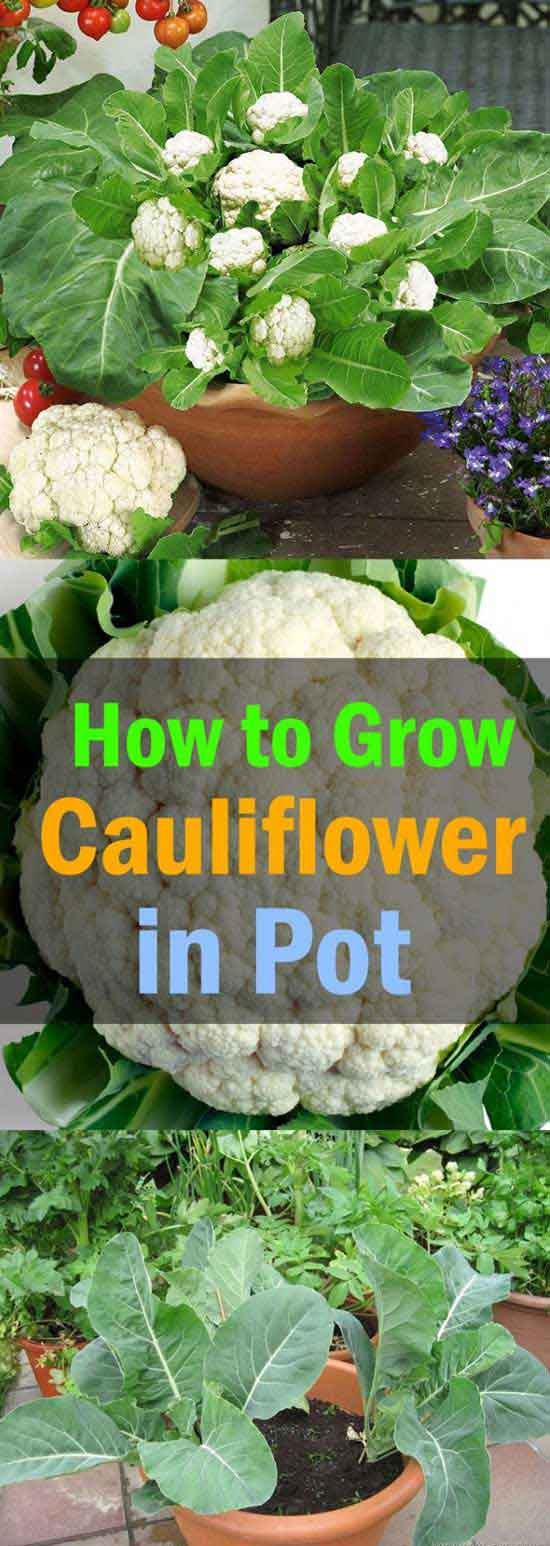 14-growing-cauliflower-in-pots