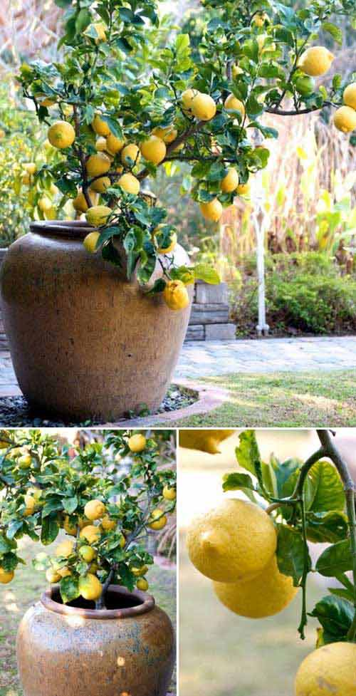 15-How-to-Grow-a-Lemon-tree-in-a-Pot-1