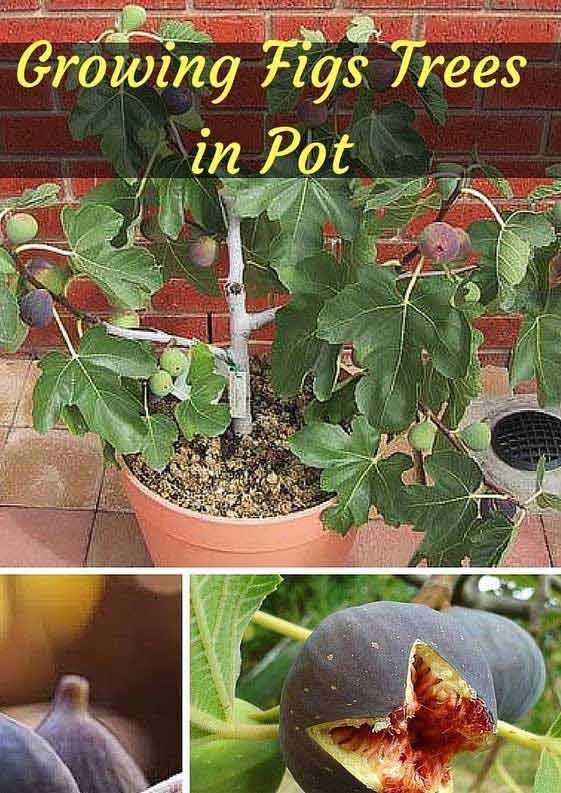 17-grow-figs-tree-in-a-container