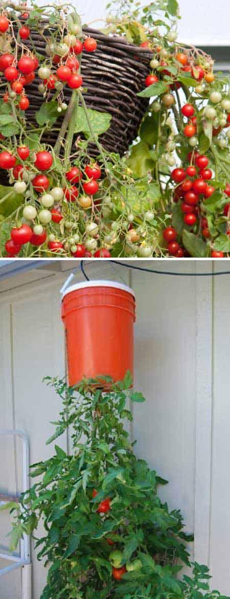 20-upside-down-tomato-plant