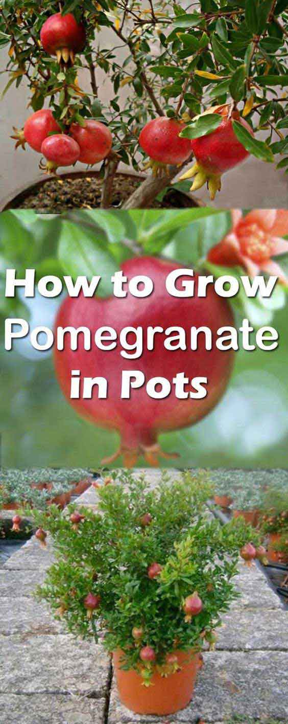 22-How-to-Grow-Pomegranate-Tree-in-Pot