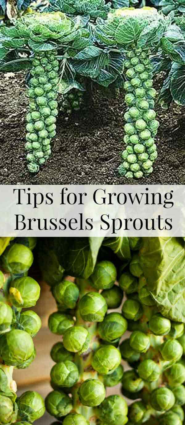 24-How-to-Grow-Brussels-Sprouts-in-Containers
