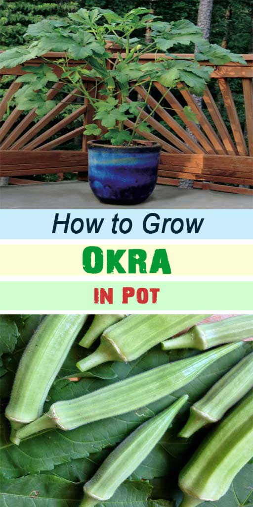 25-How-to-Grow-Okra-in-Pot
