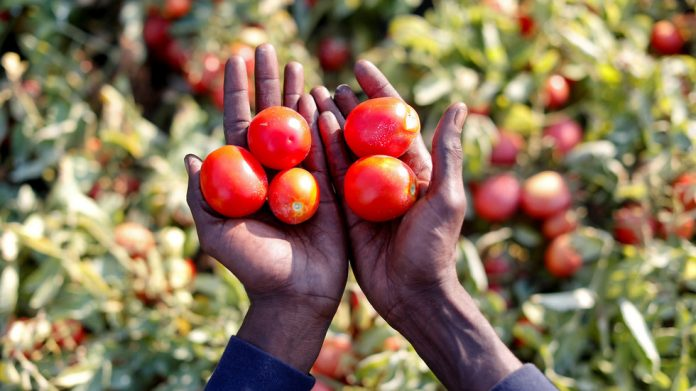 FILE PHOTO: A field of tomato plants, near Foggia, Italy © Reuters / Alessandro Bianchi